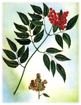Бузина род Sambucus L., семейство жимолостных