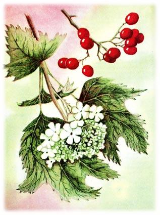 Калина род Viburnum L, семейство жимолостных