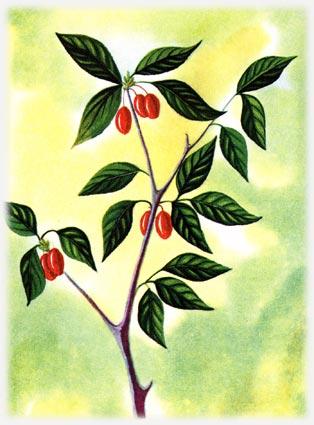 Кизил род Cornus L, семейство роговых