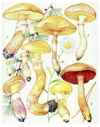 съедобный гриб