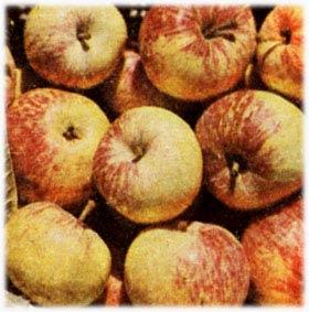 Яблоня – царица садов