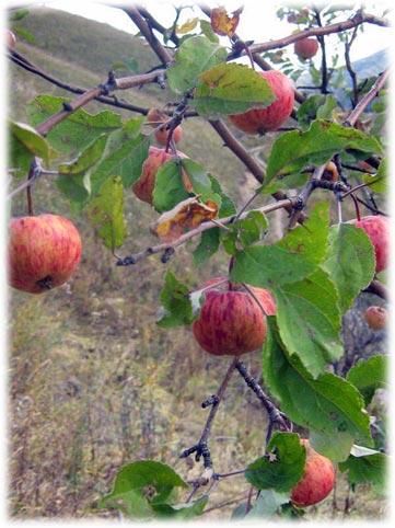 Яблоня Сиверса