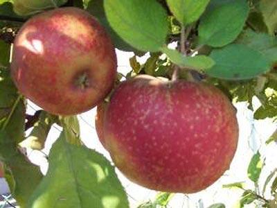 яблоня Пеструшка