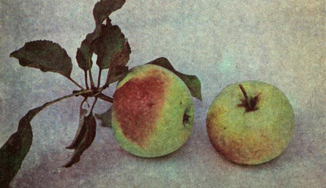 яблоки салтанат