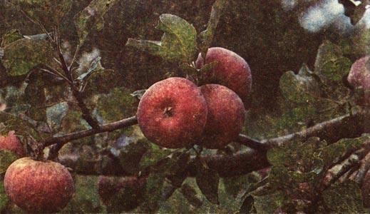 яблоня заилийское